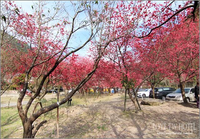 【南投旅遊櫻花】埔里賞櫻趣 @ 箱根溫泉會館櫻花又一發
