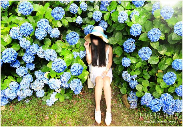 【苗栗旅遊】高山青農場繡球花 @ 南庄秘境繡球花,令人驚豔的幸福大道大爆發